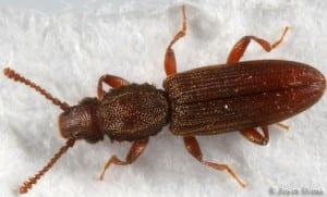Grain Beetle