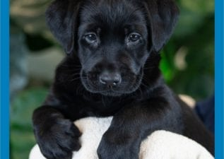 Ovenu Guide Dog Puppy, Selsey